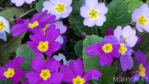 Первоцветы1